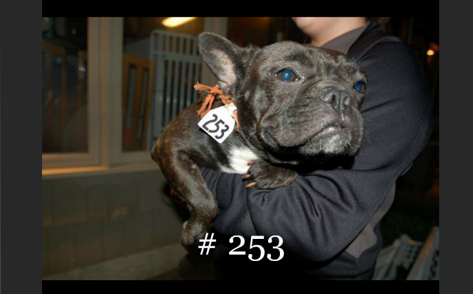 Puppy Mill French Bulldog with number tag around neck