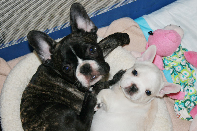 french bulldog c section french bulldog puppies for sale bullmarket 566